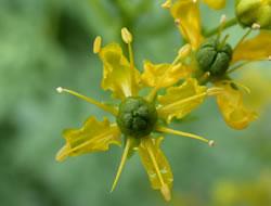 Herbarium - Rutica