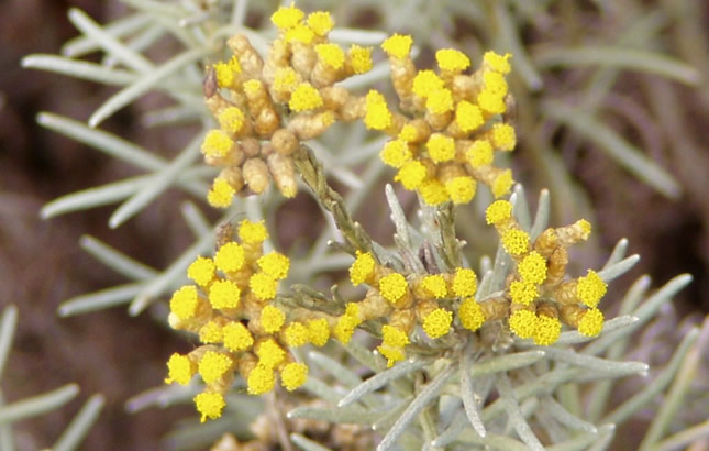 smilje-immortelle-helichrysum-italicum