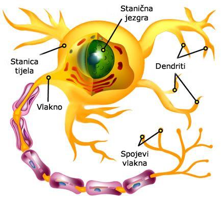 stanica u tijelu