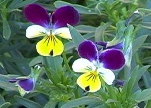 Herbarium - Maćuhica