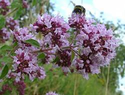 Herbarium - Mažuran divlji