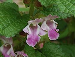 Herbarium - Medenika