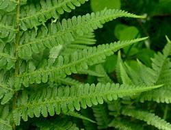 Herbarium - Paprat obična