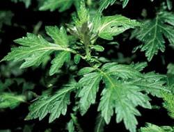 Herbarium - Pelin divlji