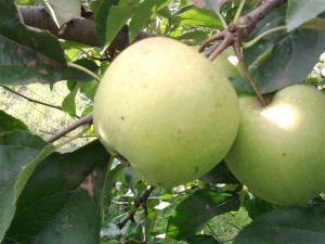 divlja jabuka