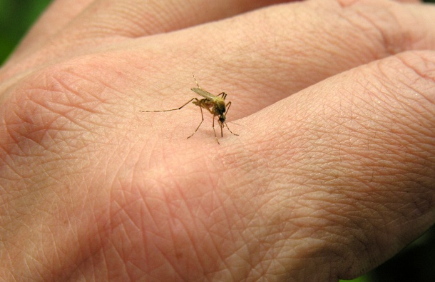 komarac-4