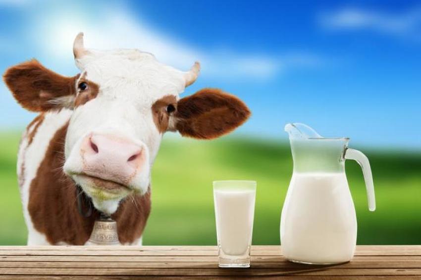 krava-mlijeko