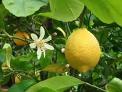 Herbarium - Limun
