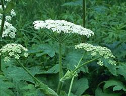 Herbarium - Mečja šapa