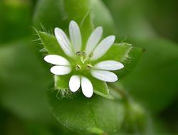 Herbarium - Mišljakinja