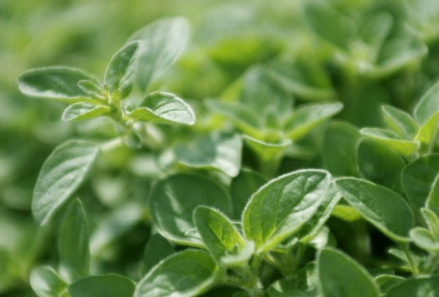 origano-biljka
